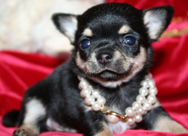 Magic Minidog Classical Cute 6 vk