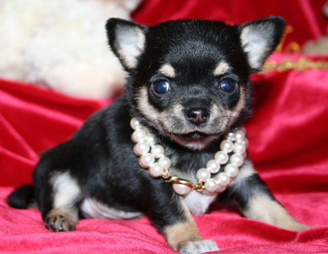 Magic Minidog Classical Cute 6 vk.