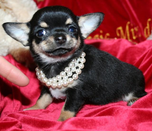 Magic Minidog Classical Cute 8 vk