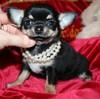 Magic Minidog Classical Cute 8 vk.