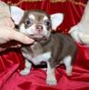 Magic Minidog Chocolate Toyboy 8 vk