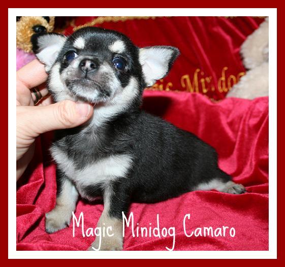 Magic Minidog Camarao -MYYTY