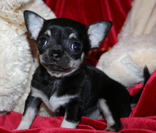 Magic Minidog Cher Dominique