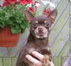Magic Minidog Choco Prince multi Ch-owner Larissa Sahmatova