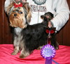 Magic Minidog Easy To love first dogshow