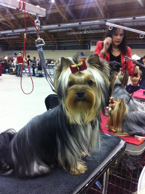 "Magic Minidog Daniella -"" Ella"" first dogshow"