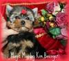 Magic Minidog Kim Basinger 8 viikkoa
