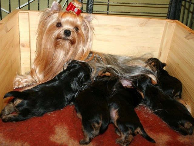 Magic Minidog Make Me Happy & puppies 3 weeks