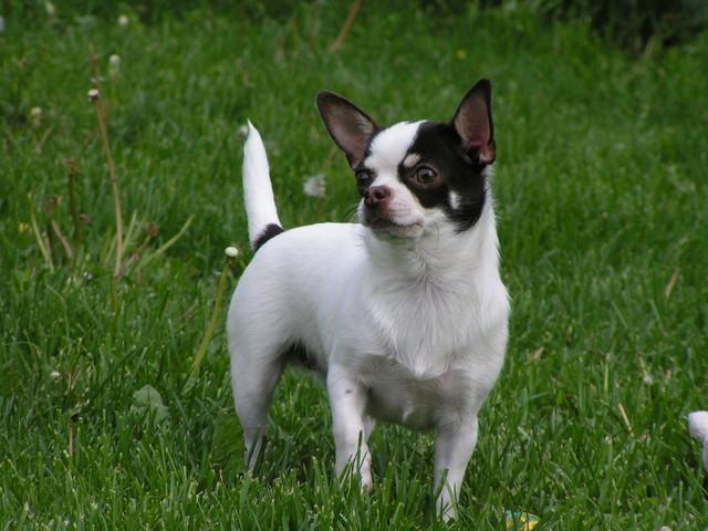 Magic Minidog Like a Choco Chips -Lissu