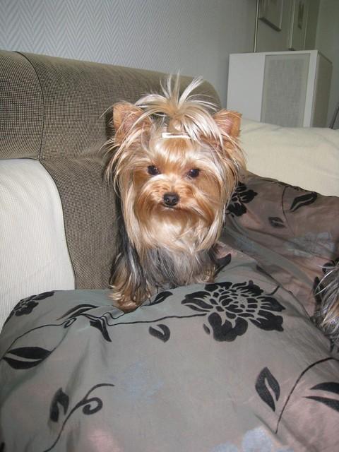 "Magic Minidog Chanel - "" Lily"""