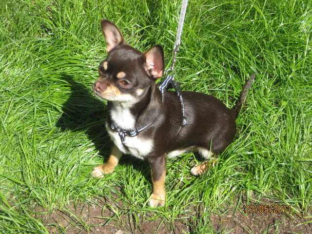 Magic Minidog Chocolate Boy - Turo