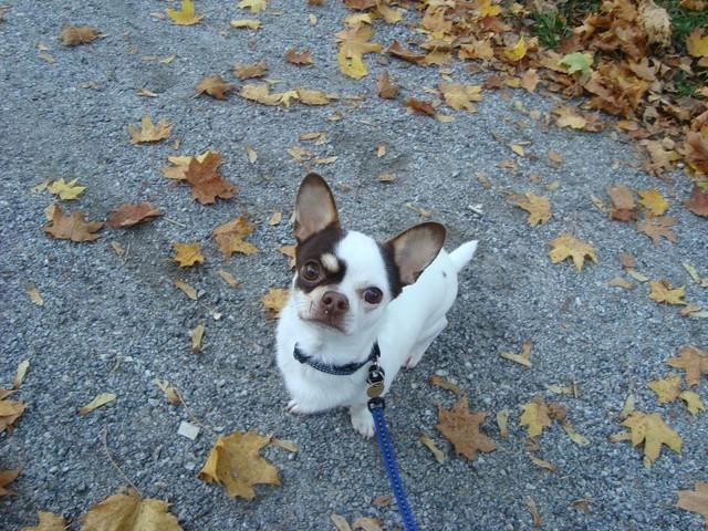 Magic Minidog Choco King - Chico
