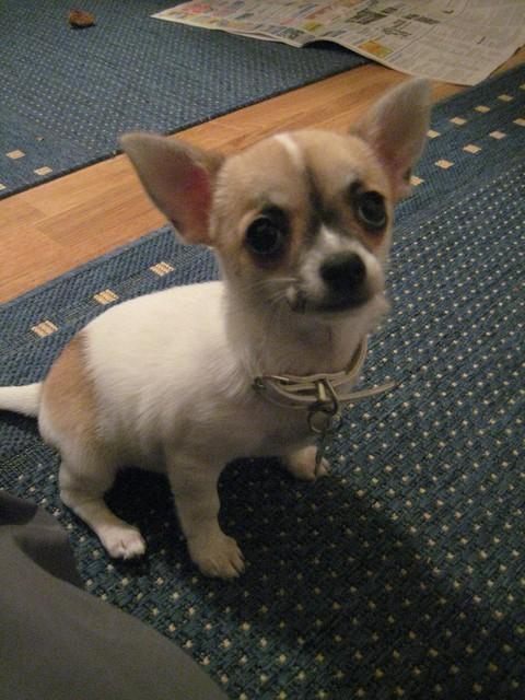 Magic Minidog Noblesse- Mila