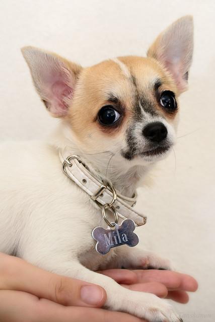 Magic Minidog Noblesse - Mila