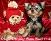 Magic Minidog Latin Lover 11 viikkoa