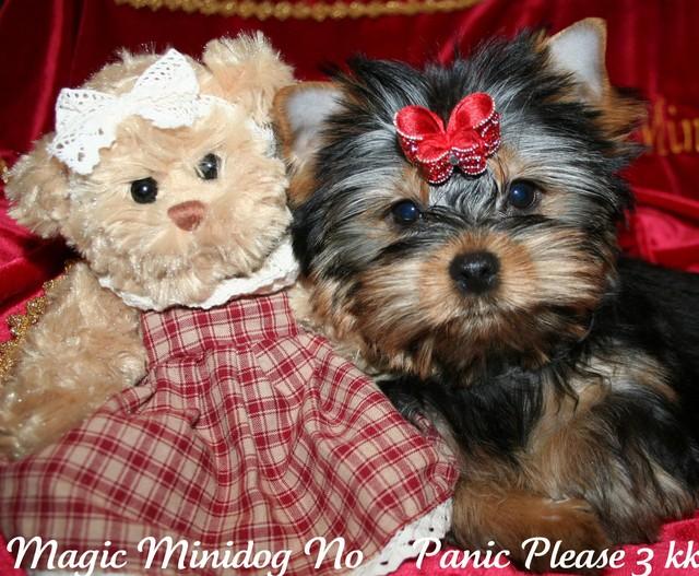 Magic Minidog No Panic Please 3 kk