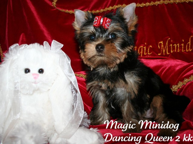 Magic Minidog Dancing Queen 2 kk