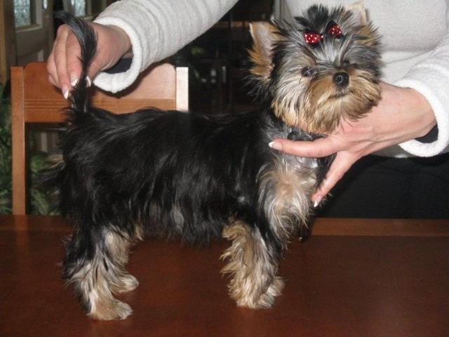 Magic Minidog Noblesse Velvet - Nuppu 4 kk