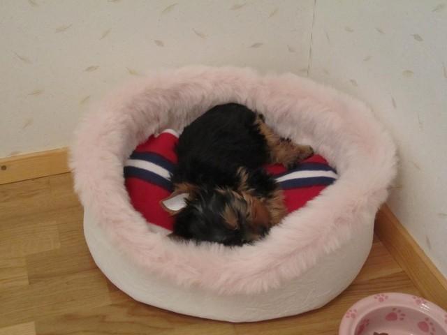 Magic Minidog Le Petit Princess -Pimu päiväunilla