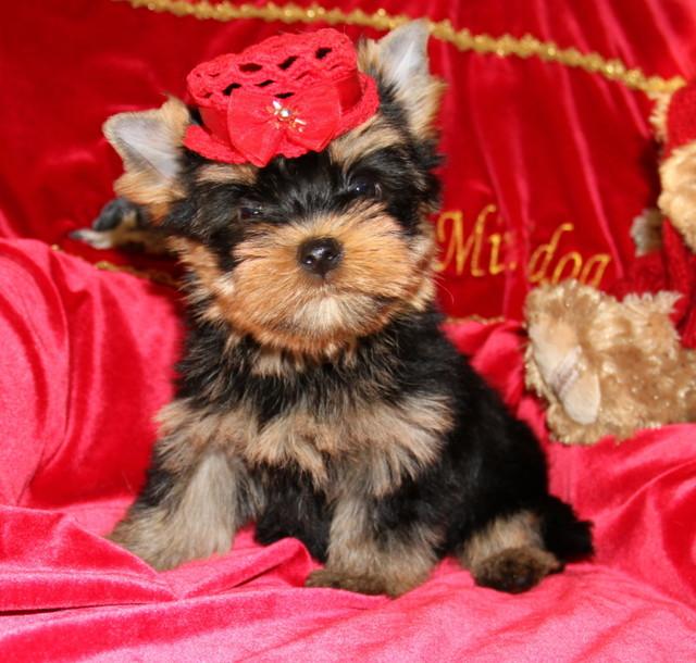 Magic Minidog Cosmopolitan 8 vk