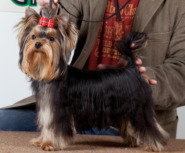 Magic Minidog Easy To Love BOB puppy Helsinki 17.04.11