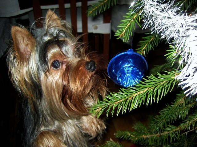 "Magic Minidog Prince Charm Love-""Morris"""