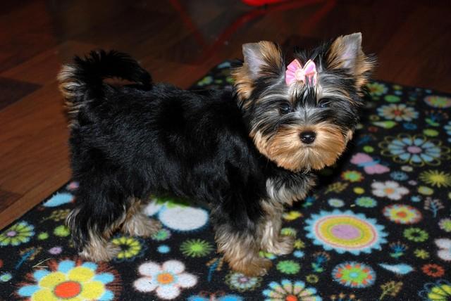 """Magic Minidog Desiree Daalia Daisy-""""Daisy"""""""