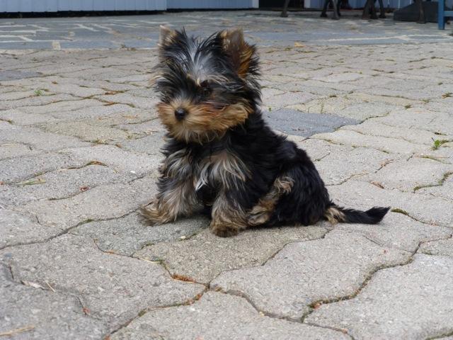 "Magic Minidog Daydream Dariella-""Ella"" 3 kk"