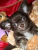 Magic Minidog Chocomaster