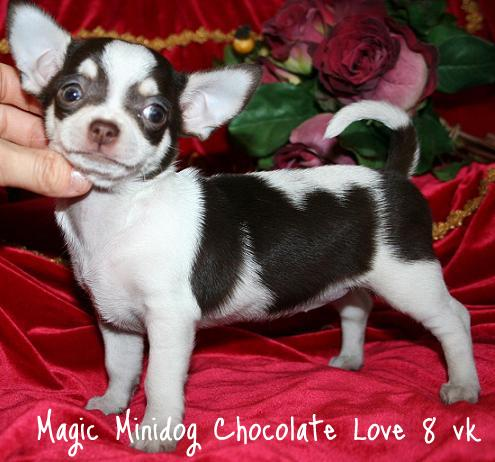 "Magic Minidog Chocolate Love - ""Lola"" 2 kk"