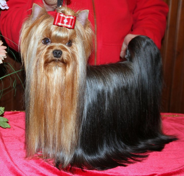 Magic Minidog Easy To Love 2,5 years old