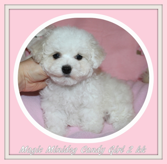 Magic Minidog Candy Girl