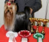 Anni - Magic Minidog American Beauty New International Champion