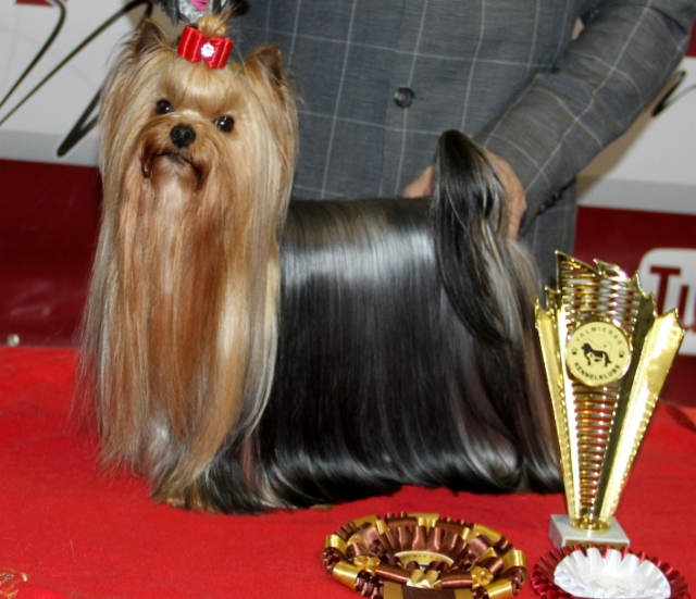 Declan`s Globetrotter Top Foreign Yorkie 2017 & 2018