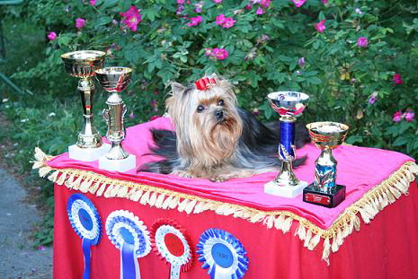 magic_minidog_olivia_new_finnish_champion.jpg