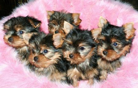 yorkie_puppies_-kansiokuva.jpg