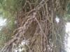 Picea abies 'Ikola's Mystery Pillar', kaarnasurukuusi