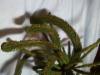 Picea abies 'Ikola's Cristate', metsäkuusen laakauma