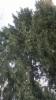 Picea abies 'Ikola's Little Cones 1', pikkukäpykuusi
