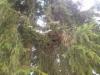 Picea abies 'Ikola's Fan', viuhkamainen kuusen tuulenpesä