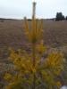 Pinus sylvestris 'Ikola's Fantastic Gold', ikikultainen mänty
