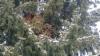 Picea abies 'Ikola's Teddy', tuuhea isohko luutamainen kuusen tuulenpesä