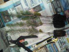 Picea abies 'Ikola's Winter Gold', kuusen talvi/ikikultaisen oksamutaation vartteita