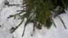 Picea abies 'Ikola's Mystery Snake', sikermäoksainen kapea käärmekuusi