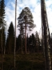 "Pallomänty suuren männyn latvustossa. Pinus sylvestris ""Salme's Broom"""