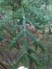 Tummaneulas kuusi, Picea abies dark needles form, Mäkisenmäen Arboretumissa