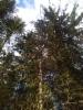 Sikermäkuusi Picea abies f. glomerulans, istutetussa kuusikossa, Mäkisenmäen Arboretumissa