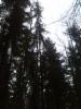 Surukuusi Picea abies f. pendula, Mäkisenmäen Arboretumissa