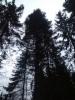 Kääpiökasvuinen kuusi, Picea abies f. nana, Mäkisenmäen Arboretumissa