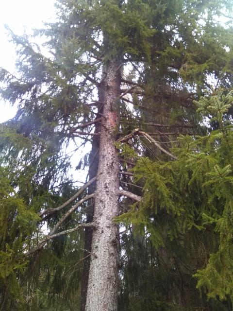 Pärekuusi, Picea abies form, Mäkisenmäen Arboretumissa